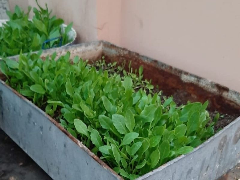 Mumbai-India-Environmental-NGO-Earth5r-spinach